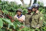 Bảo vệ cà phê chín rộ mới thu hoạch đại trà