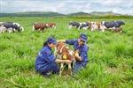 Trang trại bò sữa Organic đầu tiên đạt chuẩn Quốc tế