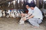 Mô hình sản xuất giống gia cầm cho các tỉnh miền núi phía Bắc