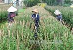 Mưa trái mùa, nông dân Khánh Hòa càng thêm khốn đốn