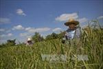 Thủ tướng Thái Lan tuyên bố sẽ bán sạch gạo dự trữ trong năm 2017