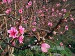 Xuân về ở vựa đào phai nổi tiếng xứ Thanh