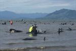 400 con cá voi mắc kẹt và chết hàng loạt ở bờ biển New Zealand