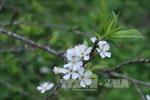 Sắc trắng tinh khôi của hoa mận trên cao nguyên Bắc Hà