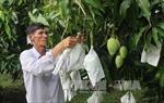 Thời tiết thất thường khiến xoài giảm đậu trái