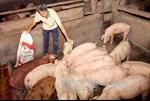 Chăn nuôi công nghệ mới - không kháng sinh, không chất cấm