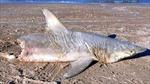 Bí ẩn 'hung thủ' cắn đứt đôi cá mập