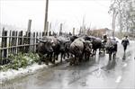 Không chăn thả trâu bò khi nhiệt độ ngoài trời dưới 12 độ C