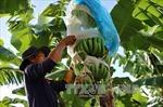 Người trồng chuối lao đao vì thiếu đầu ra