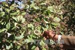 Dịch bệnh phát sinh trên cây trồng tại Đồng Nai do mưa trái mùa