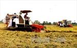 Lợi nhuận sản xuất lúa đông xuân của Cần Thơ giảm