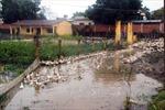 Vịt thả đồng ở Bình Thuận chết nhiều do bệnh dịch tả