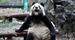 Kỳ lạ gấu trúc 'xơi tái' một con dê ở Trung Quốc
