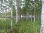 Trồng thử nghiệm cây thiên ngân - loài cây cho gỗ quý