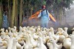 Ngăn chặn vi rút cúm gia cầm xâm nhập vào Quảng Nam