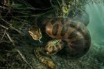 Trăn cái anaconda xanh lạnh lùng xơi tái bạn tình sau cuộc ân ái