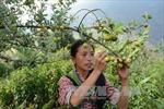 Triển vọng từ các mô hình nông nghiệp mới ở vùng cao