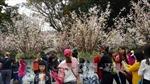 150 cây và 7.000 cành hoa anh đào trưng bày gần hồ Hoàn Kiếm