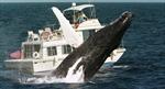 200 con cá voi lưng gù tụ họp bí ẩn ở Nam Phi