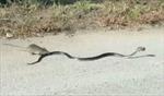 Chuột mẹ liều mình tấn công rắn hung dữ để cứu con