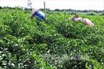 Giảm diện tích lúa, tăng cây màu và nuôi thủy sản