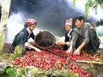 Đồng bào dân tộc Mông phục hồi cây thảo quả