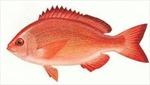 EU cảnh báo cá hồng Việt Nam nghi nhiễm chất Ciguatera