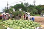 Xuất khẩu dưa hấu vào Trung Quốc không còn 'dễ xơi'