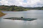 Doanh nghiệp chặn sông Krông Bông nuôi cá tầm trái phép