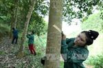 Điện Biên kỳ vọng vào mùa thu hoạch cao su đầu tiên