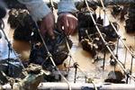 Khẩn trương tìm nguyên nhân hàu chết tại Quảng Ninh