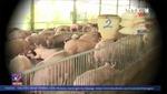 Cứu người nuôi lợn trước nguy cơ phá sản