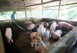 Trại nuôi lợn xả thải ra khu dân cư, có thể bị phạt tù?
