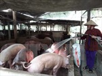 Các hộ chăn nuôi lỗ 1.500 tỷ đồng vì giá thịt lợn 'lao dốc'