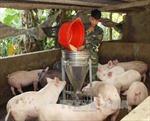 Thanh Hóa: Thu mua lợn sữa, lợn thịt cho người chăn nuôi