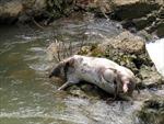 Lợn chết quẳng xuống sông gây ô nhiễm trầm trọng ở Bảo Thắng, Lào Cai
