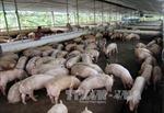 Quảng Ninh khẩn cấp tìm biện pháp tiêu thụ lợn thịt