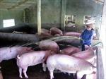Hà Tĩnh hỗ trợ gần 9 tỷ đồng cho các cơ sở chăn nuôi lợn