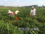 Gia Lai: 80% diện tích đất nông nghiệp cho thuê, trao đổi, mua bán trái phép được thu hồi
