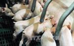 Nhiều công ty chăn nuôi Trung Quốc lao đao vì giá thịt lợn giảm