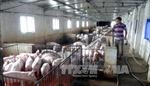 Đồng Nai vẫn còn 'tồn kho' 280.000 con lợn