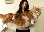Tới Australia xem con mèo dài nhất thế giới, thích ăn thịt chuột túi