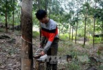 Người dân Phú Yên hoang mang vì cao su gần thu hoạch mủ bị chặt phá
