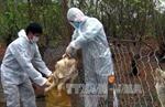 Xuất hiện ổ cúm H5N6 trên đàn vịt trời nuôi ở Đắk Lắk