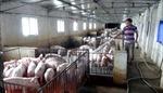'Bắt mạch' ngành chăn nuôi ở đồng bằng sông Cửu Long