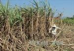 Đẩy mạnh tiêu thụ đường mía bền vững, chống đường nhập lậu