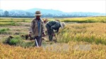 Cà Mau có trên 100 ha lúa vụ 3 trước nguy cơ mất trắng