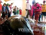 Cá voi nặng hơn 1 tấn dạt vào bờ biển Phú Yên