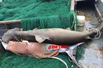 Cá mập nặng 3 tạ, đầu rộng gần 1 mét mắc lưới tàu vỏ thép ngư dân Hà Tĩnh