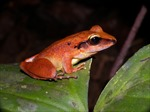 Costa Rica phát hiện loài ếch được cho là đã tuyệt chủng